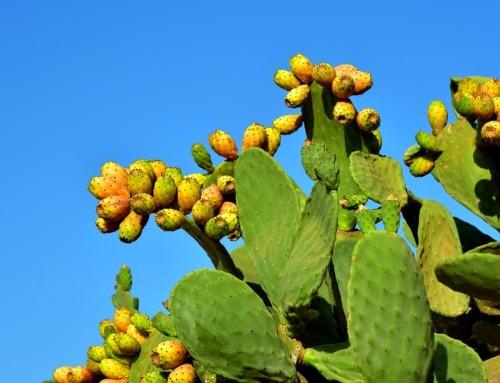 Indijska smokva je voćka meksičkog kaktusa