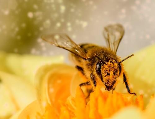 Brazilske pčele ubice prave med iz atlantske kišne šume